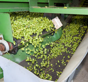 Pouring Hops onto Belt Dryer